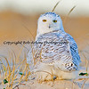 Snowy Owl, Long Island, New York  This photograph is protected by the U.S. Copyright Laws and shall not to be downloaded or reproduced by any means without the formal written permission of Bob Arkow Photography.l - Jones Beach, Long Island, NY