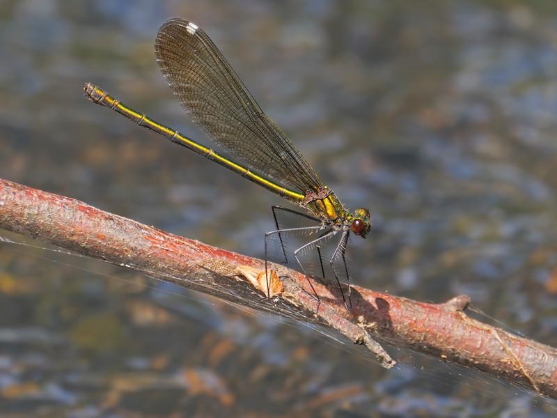 Sparkling Jewelwing (Calopteryx dimidiata), female