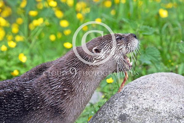 Otter Wildlife Photography