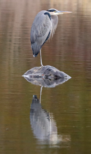 Reflected great blue heron