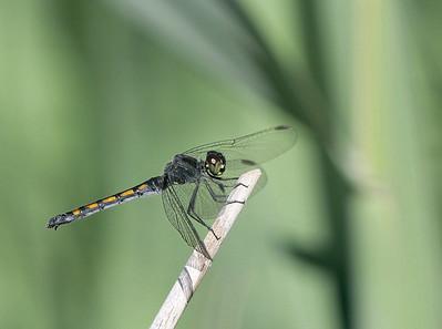 Dragonflies 07-04-13