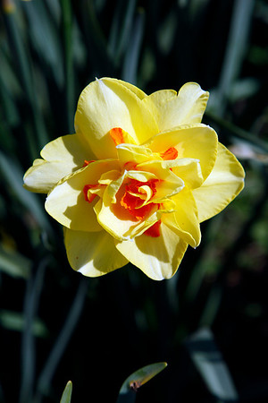 Meriden Daffodil Festival... April 26, 2009