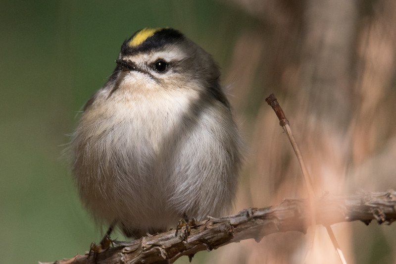 Golden Crowned Kinglet Fall 2019-2.jpg