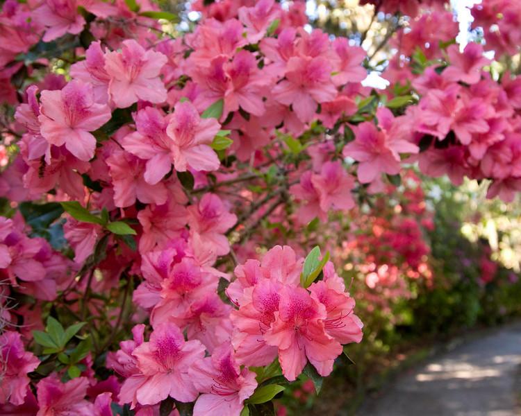 Azaleas were in magnificent bloom.
