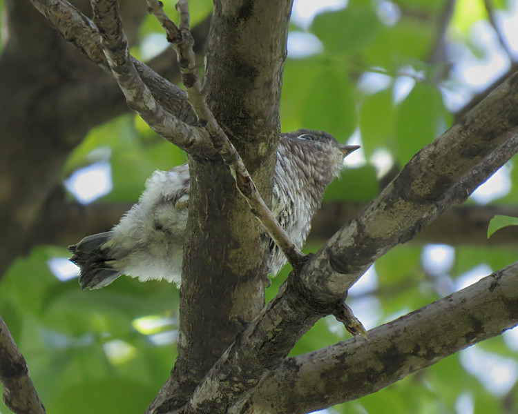 sx50_bluebird_fledgling_bit_546.jpg