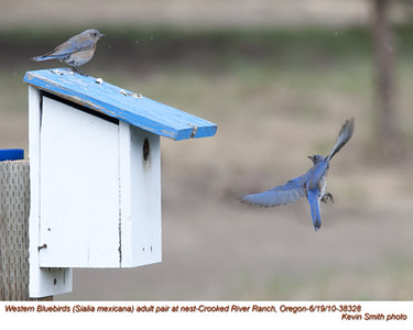 WesternBluebirdsP38328.jpg