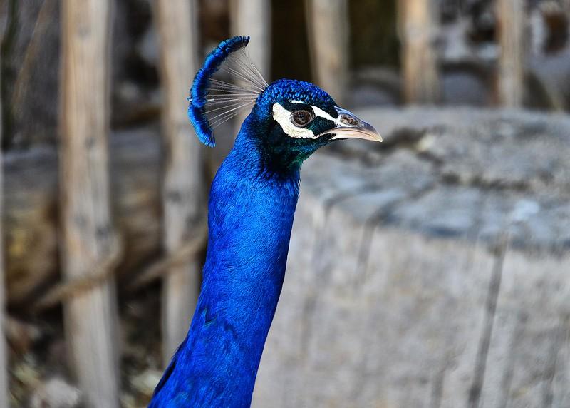 NEA_0721-7x5-Peacock.jpg