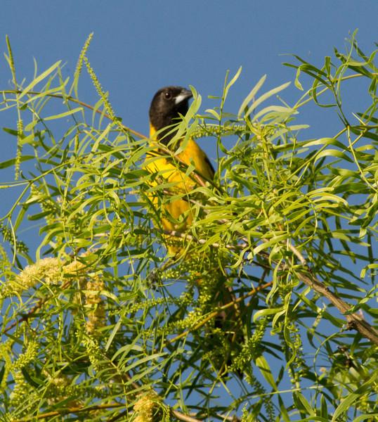 Audubon`s Oriole South Texas 2012 03 23-1.CR2
