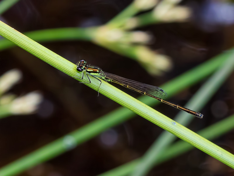 Male, Lum's Pond SP