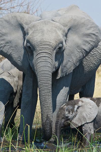 Elephant, Selinda Reserve, Botswana