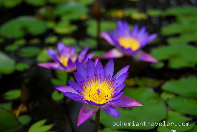 lotus flower (2).jpg