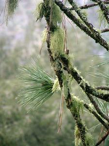 Pine and Lichen