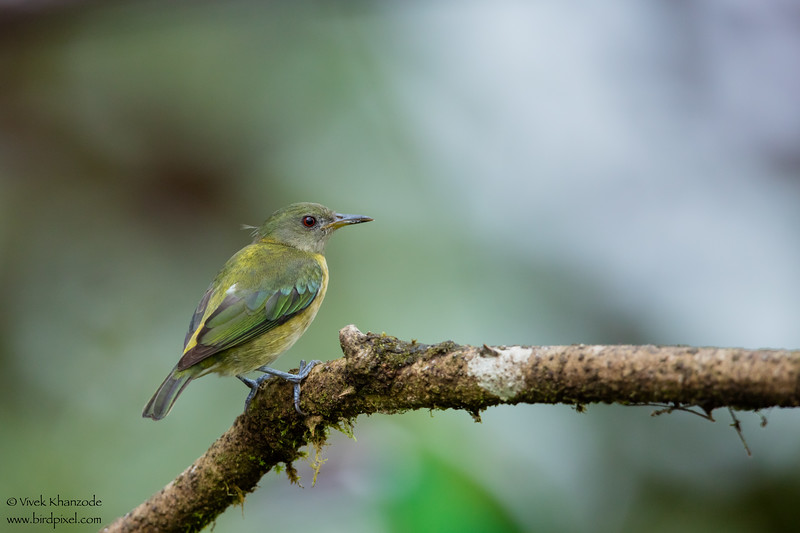 Golden-collared Honeycreeper - Mashpi, Ecuador
