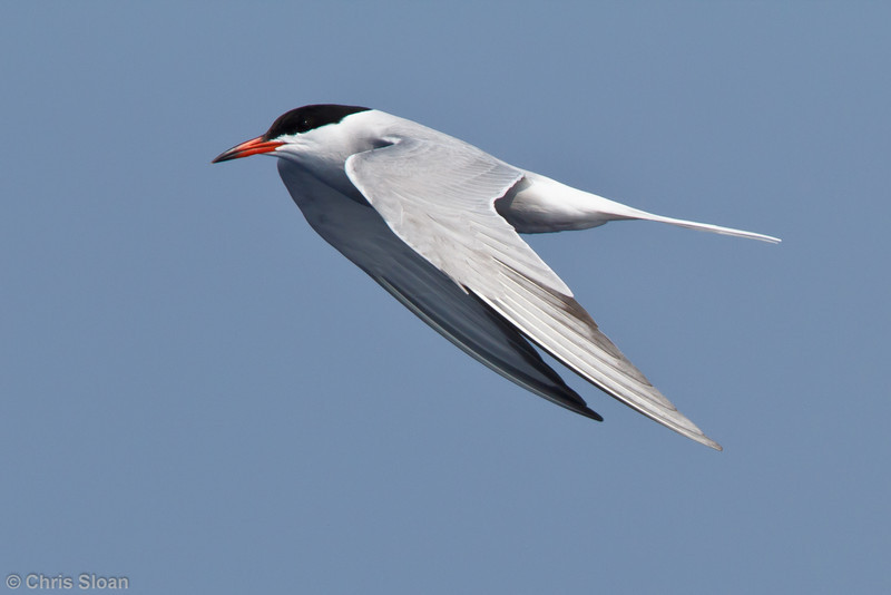 Common Tern at pelagic trip off Hatteras, NC (06-02-2011) - 474.jpg