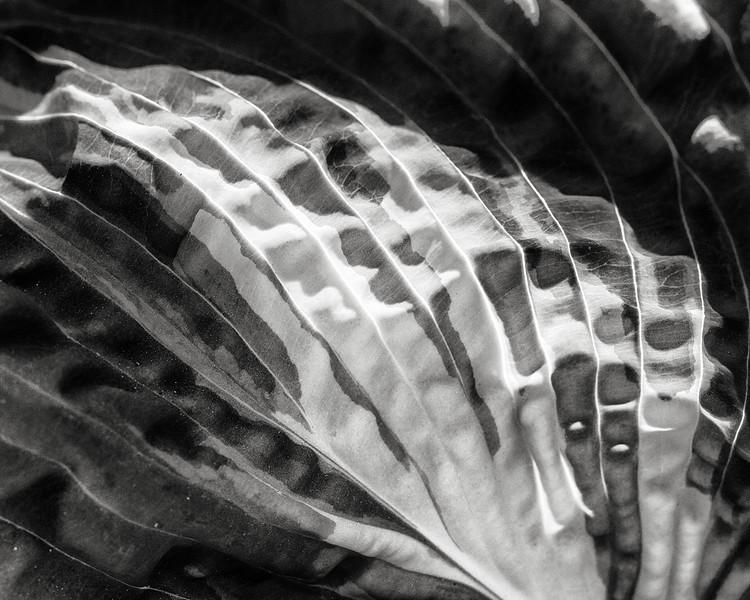 hosta leaf detail