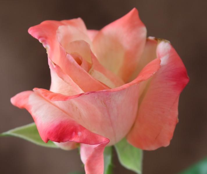 Rose 3823.jpg