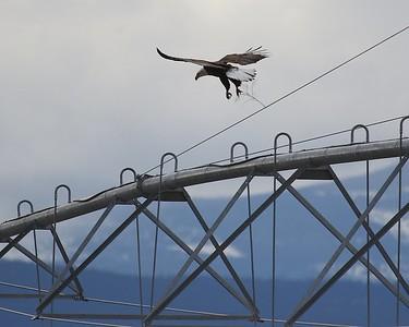 Klamath Falls eagle trip Jan 2016