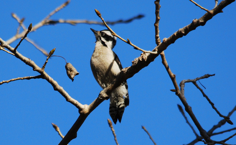 Downy Woodpecker (3).JPG