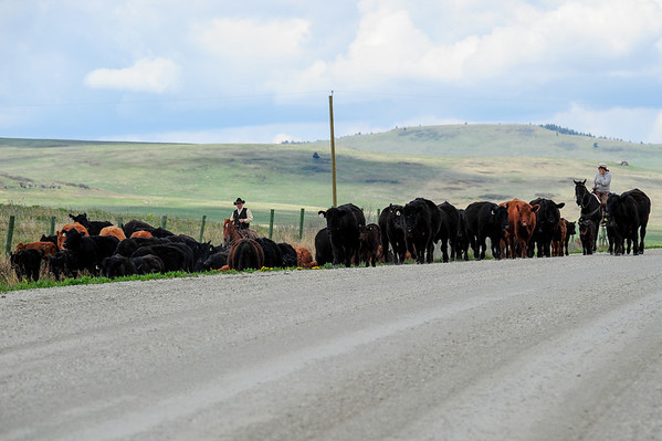 5 2013 May 20 Cattle Drive Hwy 520 Claresholm