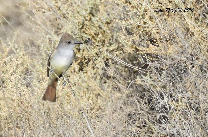 Ash-throated Flycatcher  - 5/26/2016 - Borrego Springs Mesquite Bosque