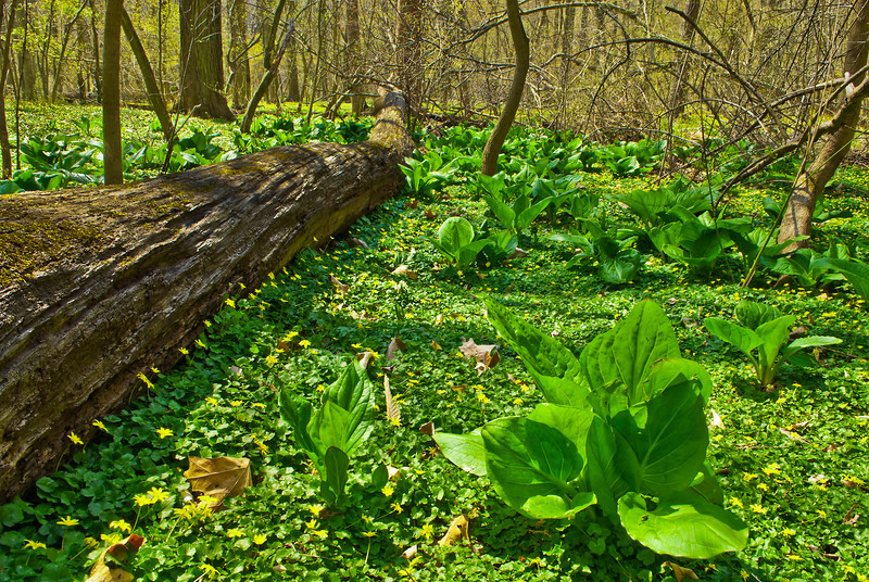 Although it creates a lovely spring show of glossy green leaves and starry yellow blossoms, lesser celandine (Ranunculus ficaria) is an invasive exotic weed that smothers native wildflowers. Here it blankets the ground under skunk cabbage (Symplocarpus foetidus) in a vernally wet area of Rock Creek Park.