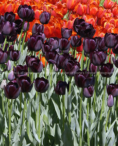 022 tulips nlg 13apr03 4430