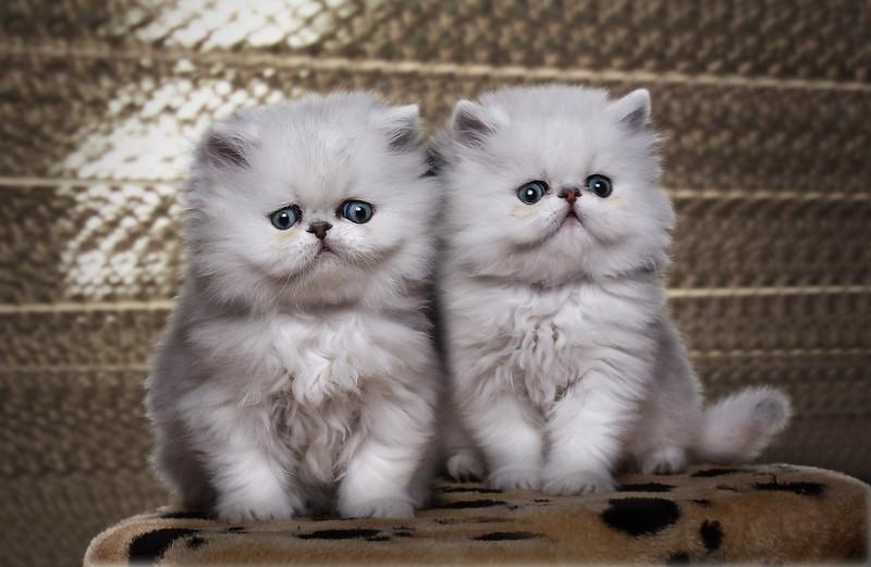Duo-chatonsb.jpg