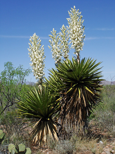 TORREY YUCCAS IN BLOOM