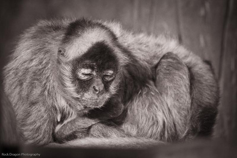 Black Handed Spider Monkey, Calgary Zoo, Sept. 27