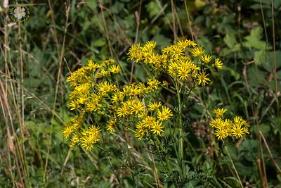 Séneçon jacobée (Jacobaea vulgaris)