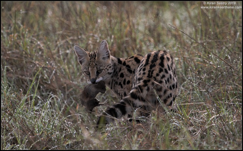 Serval cat with prey, Ngorongoro Crater, Ngorongoro Conservation Area, Tanzania, November 2019