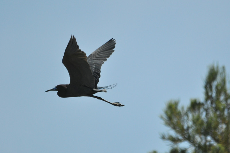 Little Blue Heron Flight.JPG
