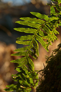 January 2011 - Backlit Fern - Vertical Cynthia Meyer - Tenakee Springs, Alaska