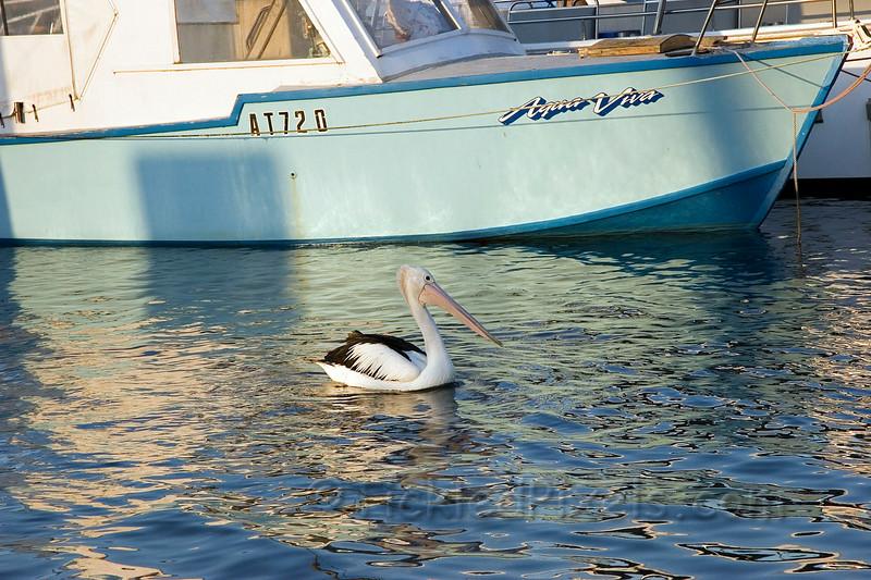 Australian Pelican - Oyster Bay, Albany, W.A.