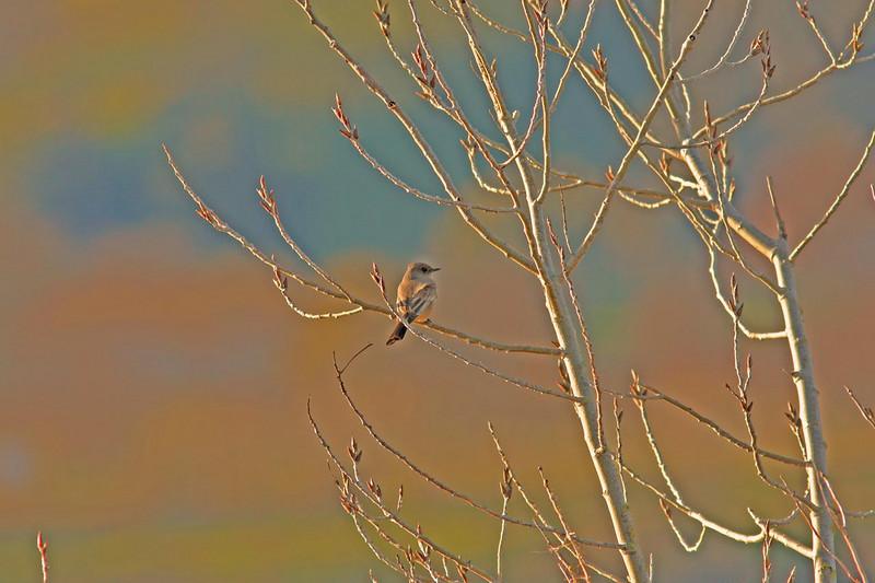 Yellow-Rumped Warbler Las Gallinas