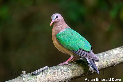 Asian Emerald Dove, Lung Sin's Hide, Thailand