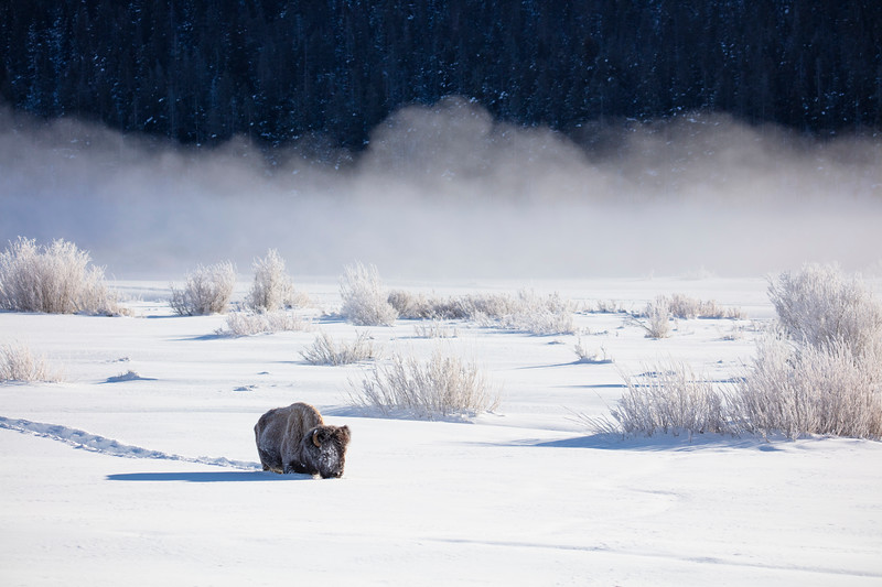 387A9676 Single bison in snow & fog.jpg
