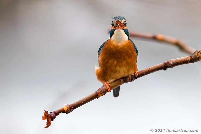 Isfugl (Alcedo atthis - Kingfisher)