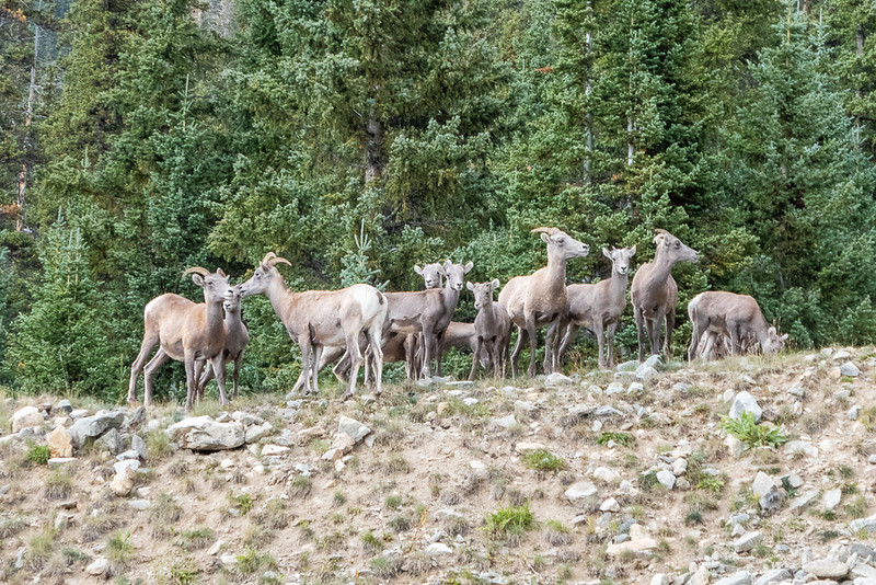 Herd of Bighorn Sheep near Loveland Pass