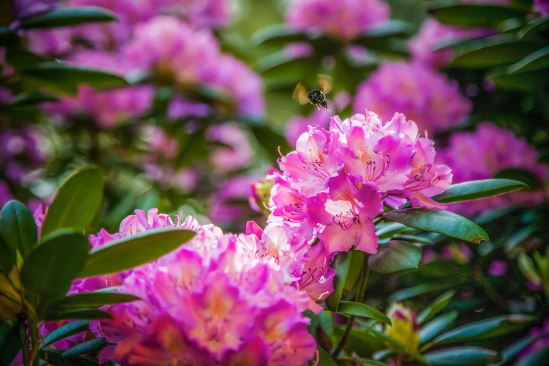 Rhododendron and Bumblebee