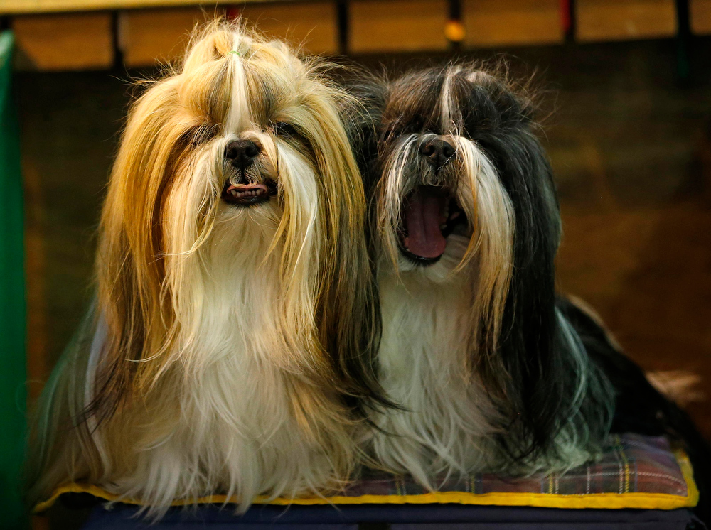 Description of . Shih Tzu dogs await judging during the second day of the Crufts Dog Show in Birmingham, central England March 8, 2013. REUTERS/Darren Staples