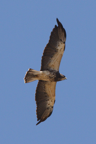 Swainson's Hawk light morph adult at Firebaugh, CA (07-18-2009)