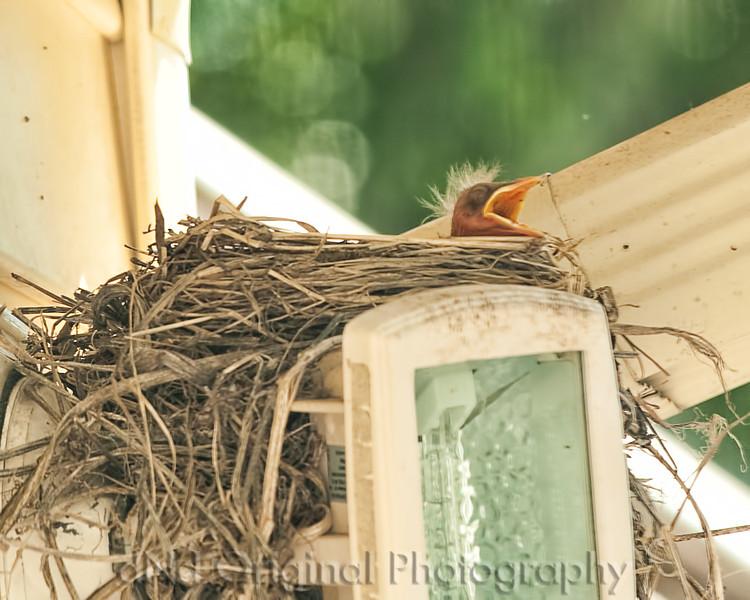 012 Baby Robins Spring 2013.jpg