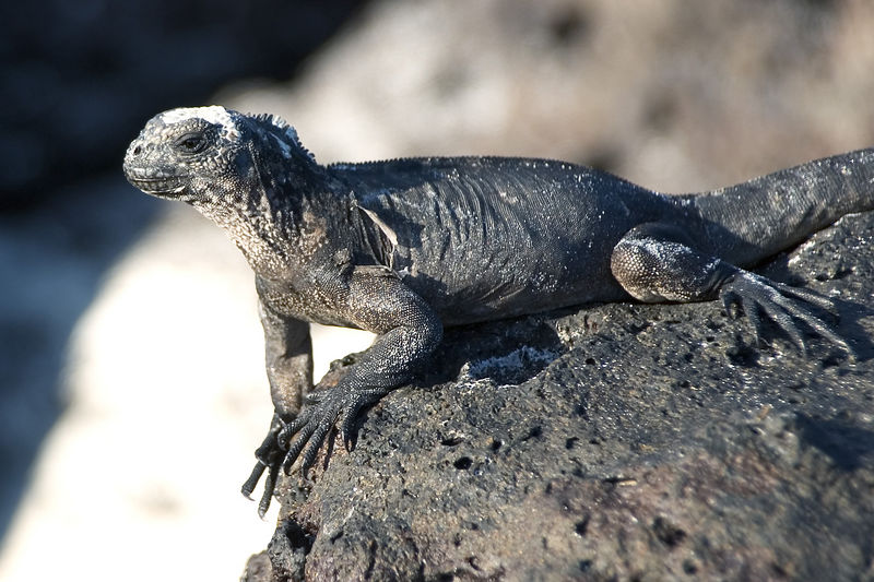 Young marine iguana