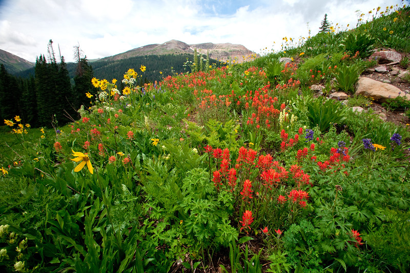 Paintbrush and asters blanket an alpine meadow off Maroon Pass trail.