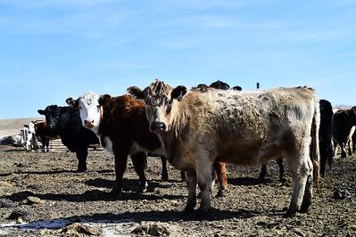 2018 Cows