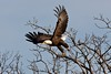 Lake Texoma Eagle