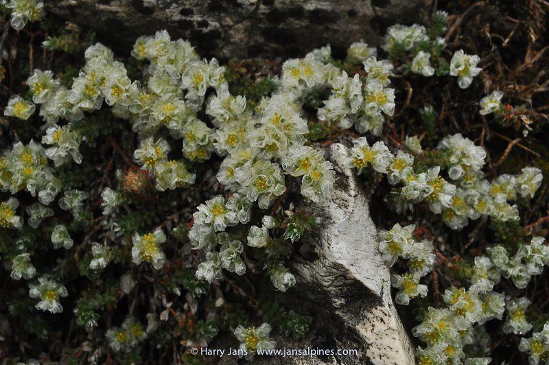 Paronychia rechingeri