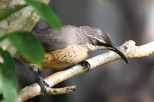 Victoria's Rifle Bird