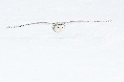 Snowyowl  Canada